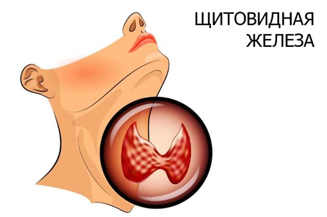 УЗИ щитовидной железы – показания, нормы, расшифровка УЗИ щитовидки, подготовка к УЗИ